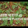 Harvesting Plantain Seeds, by Martin Survival