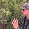 Native American Uses For The Juniper Tree