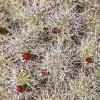 Wild Edible Plants – Mojave Mound Cactus, Wilderness Survival