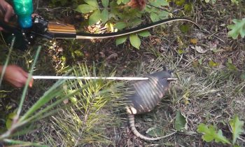 [GRAPHIC] Bowfishing For Armadillo!