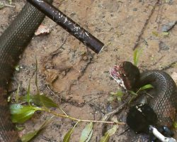 [GRAPHIC] Killing and Eating a Venomous Snake!